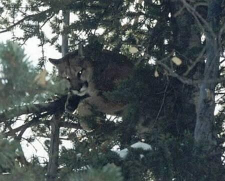 Mountain Lion  2001