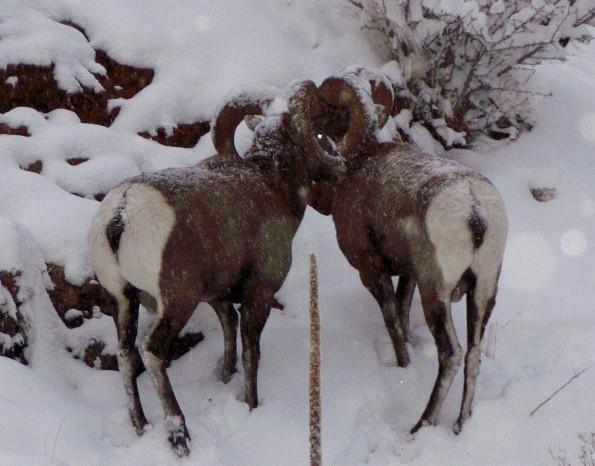 Sheep 2004
